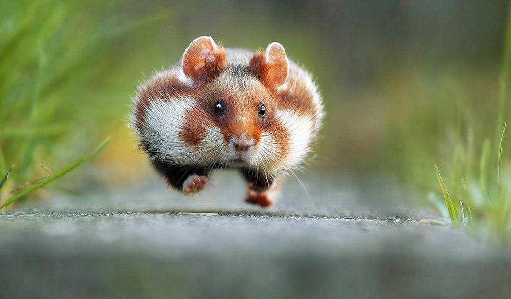 Airborne Rodent
