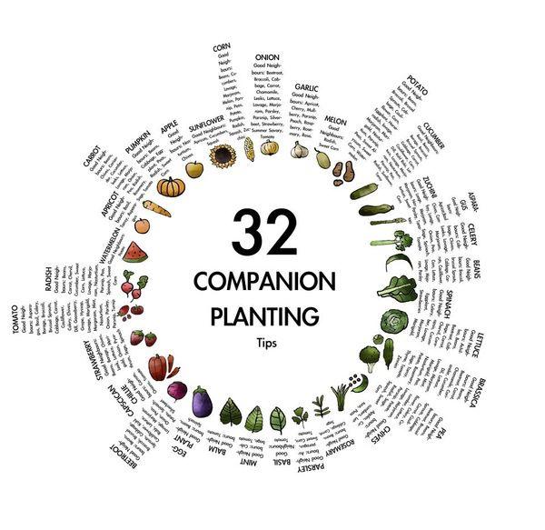 Companion Planting Tips
