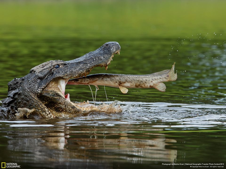 Croc Gets Fish Dinner