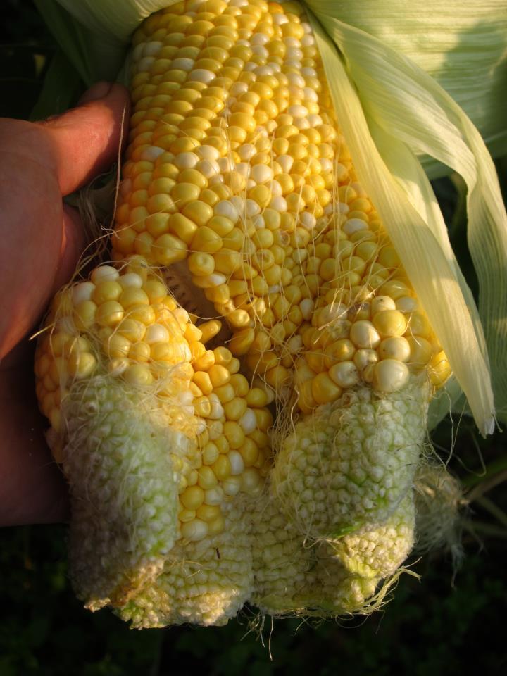 Deformed Corn