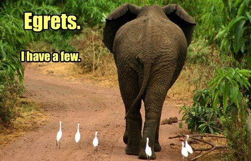 Egrets, I Have A Few