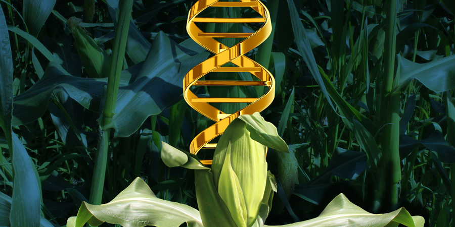 GMO DNA Transferred To Humans
