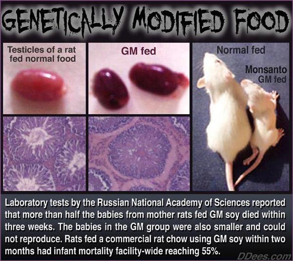 GMO Fed Rats