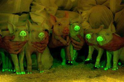 GM Pigs light up under UV light