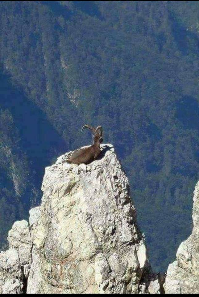Goat At Summit