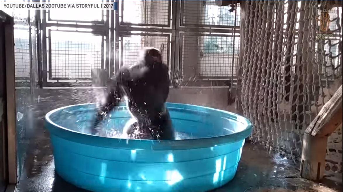 Gorilla Dancing