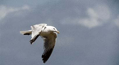 Jonathan Livingstone Seagull