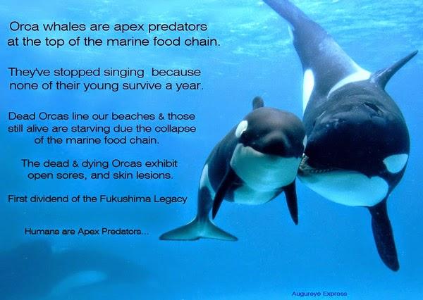 Orcas Fukushima Extinction