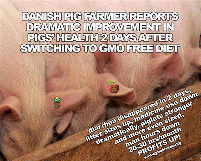 Pigs Healthier On Non GMO Diet
