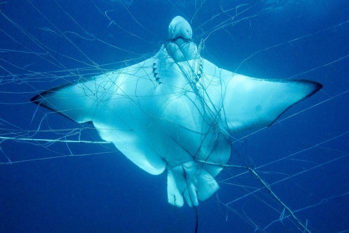 StingRay In Shark Net
