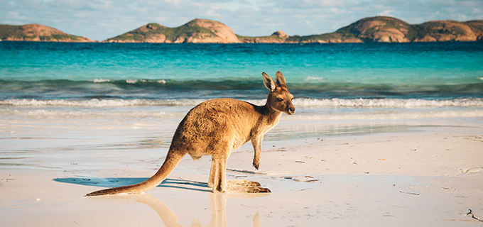 Wallaby On Beach