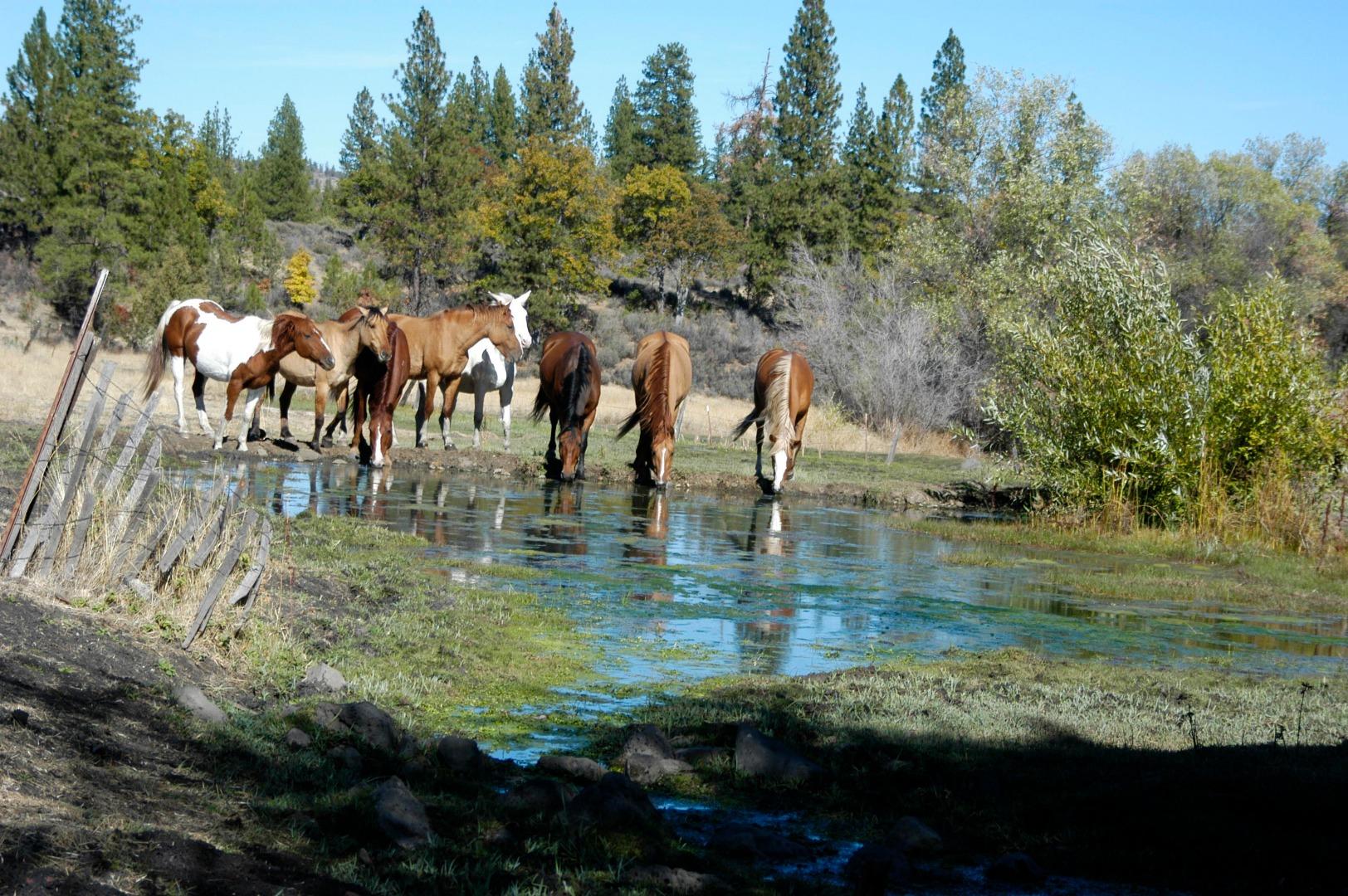 Wild_Horses_Drinking