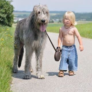 Picture of Irish Wolfhound