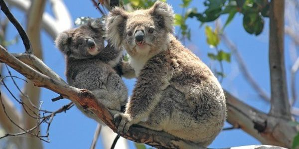 koalas-in-tree