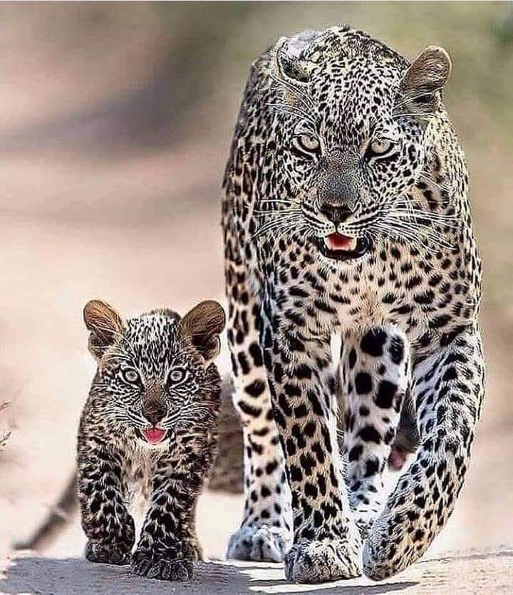 Leopard Mum And Cub