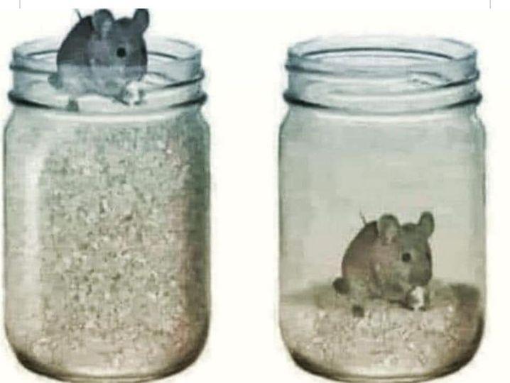 Mouse In Grain Trap