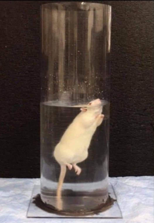 Rat Treading Water